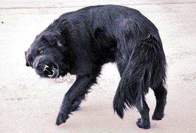 Aggressive looking black dog