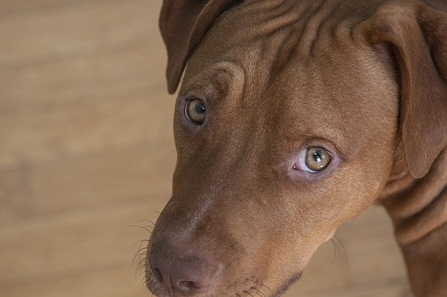 small brown pit bull puppy