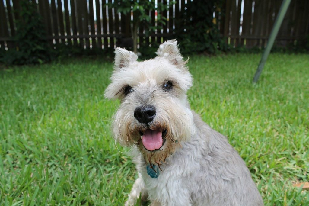 happy schnauzer dog